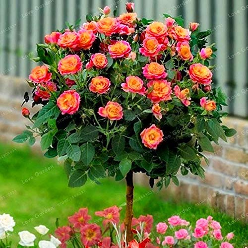 Bloom Green Co. Vente chaude 50 Pcs Rare Rose Tree Bonsai chinois Belle bricolage Home Jardin Balcon Jardin Belle pot de fleur plante facile à cultiver: 1