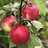 Apfelbaum Cox Orange Winterapfel Tafelapfel 2jährig Apfel Buschbaum 120-150 cm 9,5 Liter Topf MM111