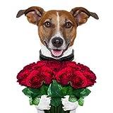 CHICO - DER ROSENKAVALIER: Lustige Geburtstagskarte mit einem romantischen Hund, der einen Strauß rote Rosen in den Pfoten hält