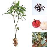 Wekold Litchi Samen Liquique Litschi Samen - 5 Samen Garten Bonsai Pflanzen Seltene Obstbaum Samen