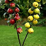Amazon.de Pflanzenservice Duo-Apfel, veredelter Apfelbaum mit zwei Sorten auf einem Stamm,...