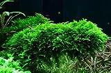 WFW wasserflora In-Vitro Christmas Moss/Vesicularia dubyana 'Christmas Moss'