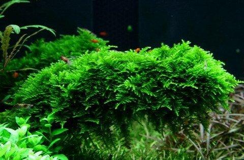 In-Vitro Christmas Moss / Vesicularia dubyana 'Christmas Moss'