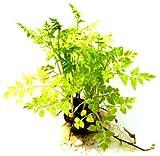 Pflanze Vietnamesischer Wasserfenchel Speise Pflanze Garten Pflanze Balkon Pflanze bis Sumpfpflanze - Oenanthe stolonifera 1434