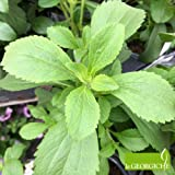 Stevia rebaudiana BIO (Pianta dello zucchero) [Vaso Ø14cm]