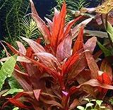 Alternanthera rosaefolia - live aquarium plant