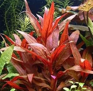 Wasserflora über 40 Aquarium-Pflanzen in 6 Bunde - buntes Sortiment