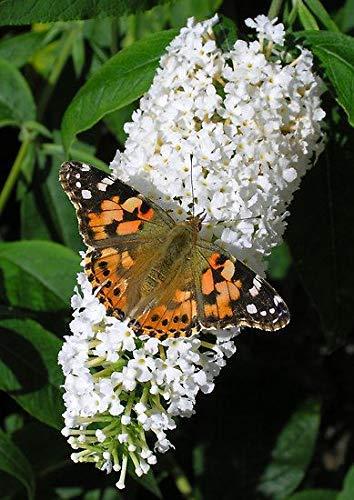 Buddleja davidii White Profusion - Buddleia, Butterfly Bush, Plant in 9cm Pot