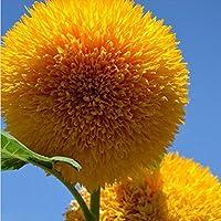 Bluelover 15 Unids Semillas De Girasol De Oso De Peluche Jardín De Casa Semi Enano Helianthus Jardín Semillas De Flores Hermosas