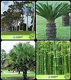 Pinkdose Baumsamen pflanzt Eukalyptus, Palmfarn, Himalaya-Fan Palm, Bambus Dornige Combo Für HomPinkdose Herb Baum & Zier Pa