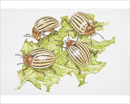 photographic-print-of-four-colorado-beetles-leptinotarsa-decemlineata-feeding-on-a-potato-leaf