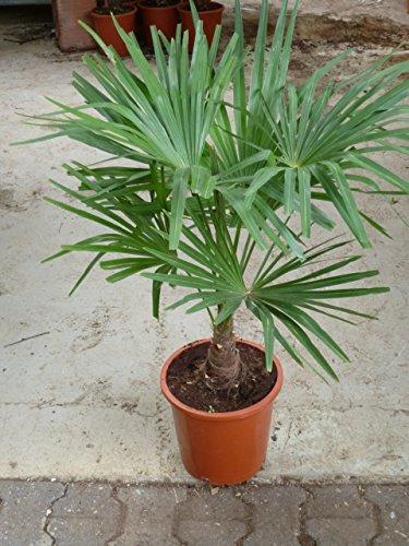 [Palmenlager] - Winterharte Palme -Trachycarpus fortunei- 90 cm - Stamm 20 cm/Chinesische Hanfpalme - 17°C