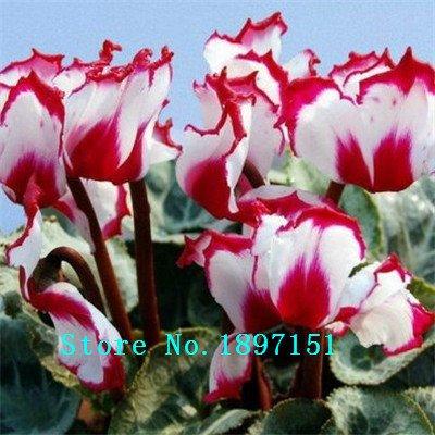 Grande vente Hot Sale 7 couleurs peuvent être Choisissez graines Cyclamen Graines de fleurs Plantes vivaces à fleurs Cyclamen Seeds - 100 PCS