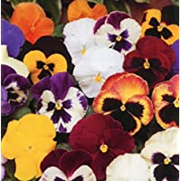 Pansy Matrix Mixed - Tray of 40 Plug Plants - Autumn and Winter Flowering Pansies
