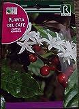 Semilla de planta del café - Rocalba