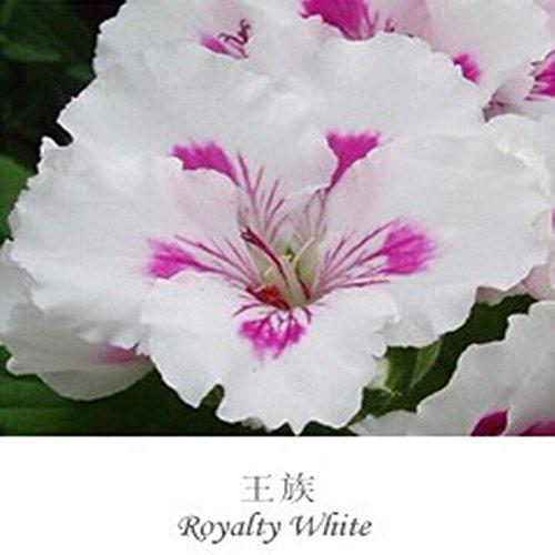 Promotions graines Géranium Pelargonium véritables plantes graines de fleurs bonsaï fraîches pour la maison cadeau Jardin 20seeds / Pack