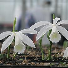 White Garden Orchid ❀ Pleione formosana alba ✿ Easy Garden