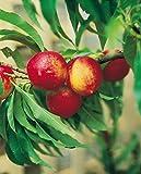 Fruchtbengel, Nektarine Crimson n' Gold, Prunus nucipersica, ertragreich, rosablühend, großfruchtig