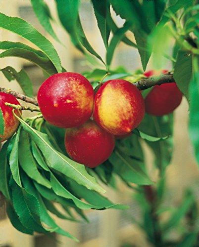 Fruchtbengel, Nektarine Crimson n\' Gold, Prunus nucipersica, ertragreich, rosablühend, großfruchtig
