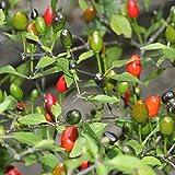 10 Samen Pequin Chili – 100-200 Früchte je Pflanze, bis 130cm hoch
