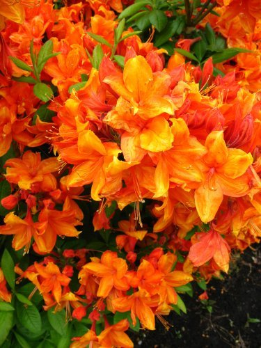 bronze-yellow-flowering-azalea-garden-rhododendron-luteum-golden-eagle-40-50-cm-in-5-liter-plant-con