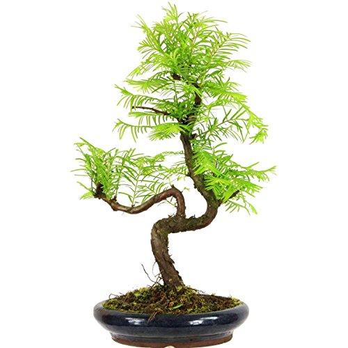 metasequoia-bonsai-10-ans-39cm