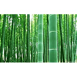 Shopmeeko 20 STÃœCKE MOSO BAMBUS RIESIGE MAO BAMBUS-Pflanze - Phyllostachys pubescens/edulis - Moso Hardy Bambus