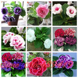 9 Farben Gloxinie Samen Staudenblütenpflanzen Sinningia speciosa Bonsai Balkon Blume - 100 Stück