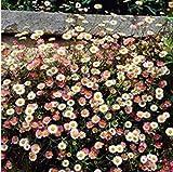 Beautytalk-Garten 100 Spanisches Gänseblümchen Bodendecker Blumensamen Winterhart Mehrjährig Gänseblümchen Saatgut Blüten bienenfreundliche für Balkon/Steingärten