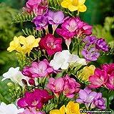 PLAT FIRM SEMI DI GERMINAZIONE: Freesie Mix Blumenzwiebeln Startseite Pflanze Bonsai IntÃrieur ExtÃrieur-Garten-Blumen