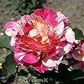 Malerrose Maurice Utrillo® 30-60cm von Baumschulen - Du und dein Garten