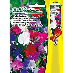 Edelwicke 'Mammut' Prachtmischung' früher Blühbeginn, große Blüten, Schnitteignung ( mit Stecketiket) 'Lathyrus odoratus' Wicke
