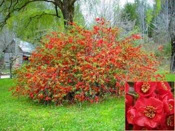 Chaenomeles japonica: Japanische Zwerg Zierquitte Seeds