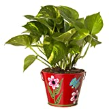 Exotic Green Indoor Hybrid Money Plant In Metal Pot