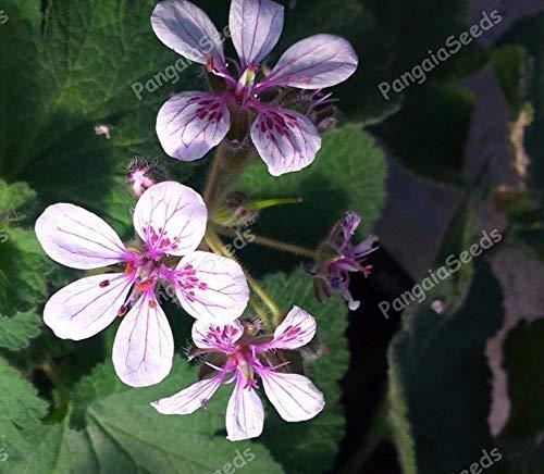Portal Cool Erodium Pelargoniflorum 25 Samen Schatz-Blumen-Abdeckung Pflanze Rock Garden