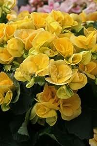 30 h nge begonien gelb blumenzwiebeln knollen aus holland versandfrei garten. Black Bedroom Furniture Sets. Home Design Ideas