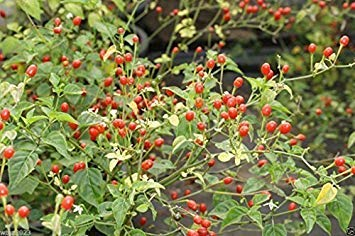 GEOPONICS 10 Samen Wüste Tepin Chili er aller Peppers, Super HOT - 250.000 SCOE Einheit von wbut2023