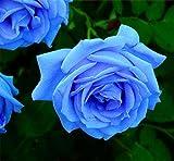 Verlust Förderung !!! 200pcs/bag seltene Farbe Samen Regenbogen blau rose Home Garten ausdauernde Pflanze Blume exotische Bonsai Samen 14