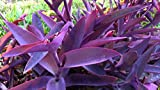 #10: Raj Garden Plants Wandering Jew, Tradescantia Pallida - Wandering Jew - Purple Heart - Purple Queen Live Plant