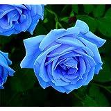 suchergebnis auf amazon.de für: blaue rosen - blumen & pflanzen ... - Garten Blumen Blau
