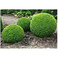Buxus sempervirens - - 20 semillas