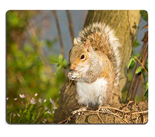 luxlady-souris-ecureuil-gris-assis-sur-un-arbre-stump-tout-en-mangeant-un-ecrou-dans-maryland-image-
