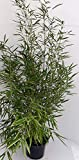 2 x Bambus, Höhe: 110-120 cm, Fargesia Campbell, winterhart und sonnenfest