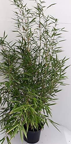 fargesia hecke 2 x Bambus, Höhe: 110-120 cm, Fargesia Campbell, winterhart und sonnenfest