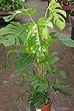 Zimmerpflanze für Wohnraum oder Büro – Monstera deliciosa - Köstliches Fensterblatt - Höhe ca. 80cm, an einem Moosstock