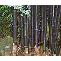 Bambusa lako – bambú negro de Ti