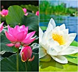 Creative Farmer Lotus Flower Seeds Pink & White Colors Seeds For Home Garden 15 Seeds- Garden Flower Seeds Pack