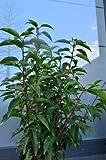 Portugisische Lorbeerkirsche Prunus lusitanica 40-60 cm hoch im 3 Liter Pflanzcontainer