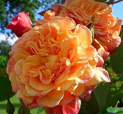 Rosarot Pflanzenversand ML11