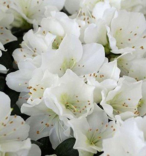 Azalee, Baum (Japanische Azalee Diamant Weiß 20-25cm - Rhododendron obtusum - Zwerg Alpenrose)
